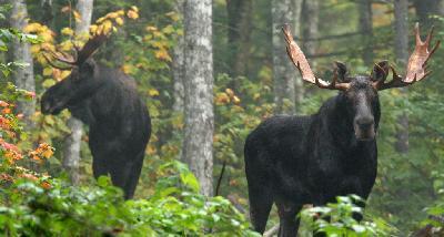Moose Tours Dan S Scenic Tours Llc North Conway