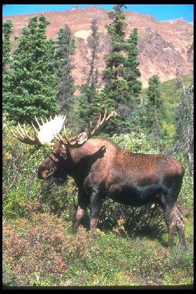 N.h. Moose Moose Tours - DAN S SCENIC